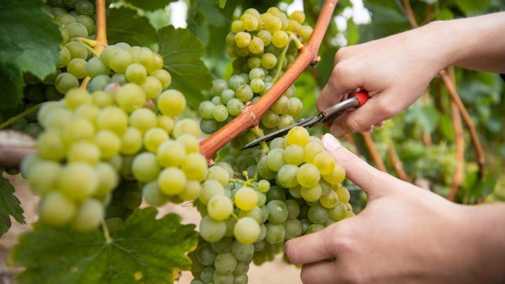 Weinlese in Ligerz bei Stämpfli Wy